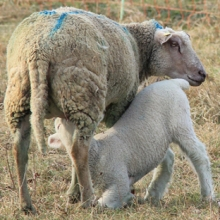 brebis allaitante