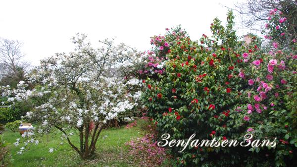 Camélias magnolia