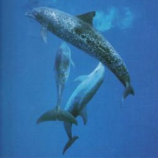 dauphin allaitante