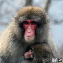 Macaque allaitante