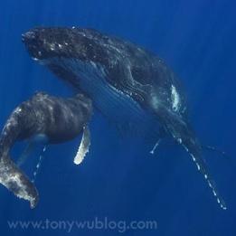 maman baleine allaitante
