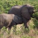 maman éléphant allaitante