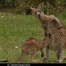 maman kangouroo allaitante