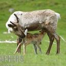 maman renne allaitante