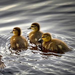 3ee3a black-ducks-2429165_1280