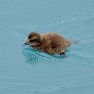 3ee3a duck-1948220_1280