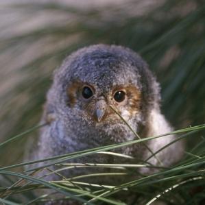 3ee3a flammulated-owl-890638_640