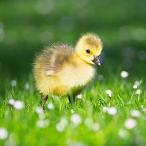 3ee3a goslings-2292415_1280