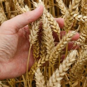 wheat-1530321_1280
