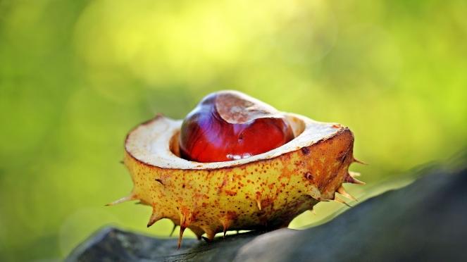 chestnut-1698730_1280.jpg